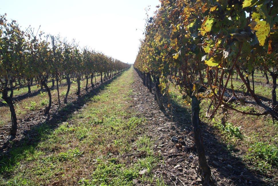 Peller Estates, the vineyard